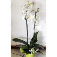 White Orchids plant